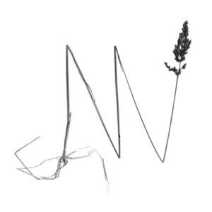 Gemeines Rispengras (poa trivialis) 110 cm, 30 x 30 cm Heliogravüre